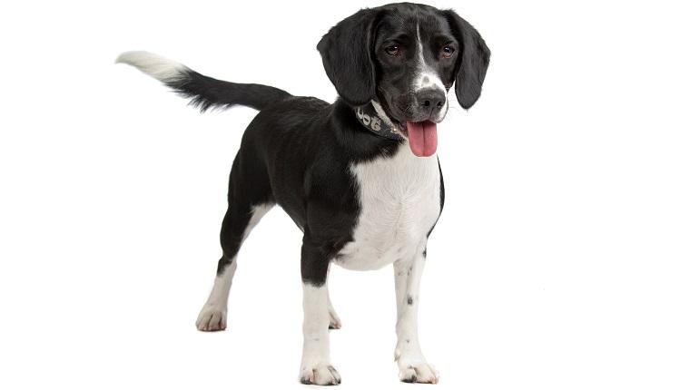 Bocker dog