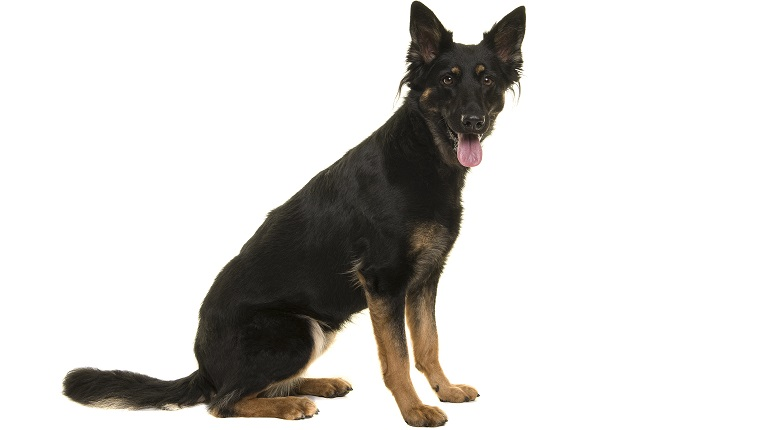 Bohemian Shepherd dog