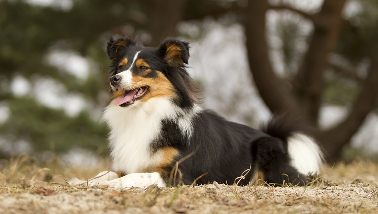 Border Sheepdog dog