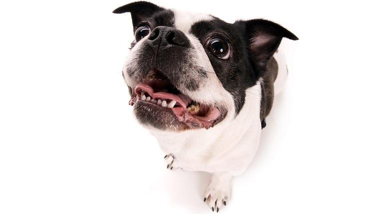 Boston Terrier Pekingese Mix dogs