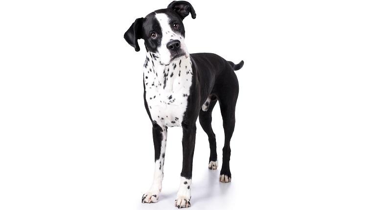 Boxmatian dogs