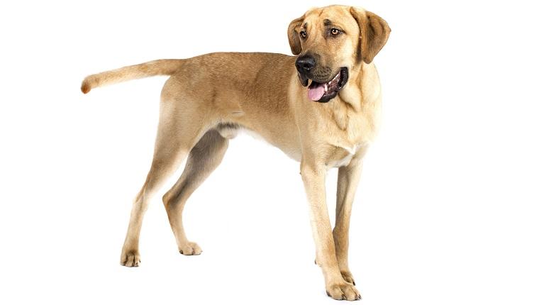 Broholmer dogs
