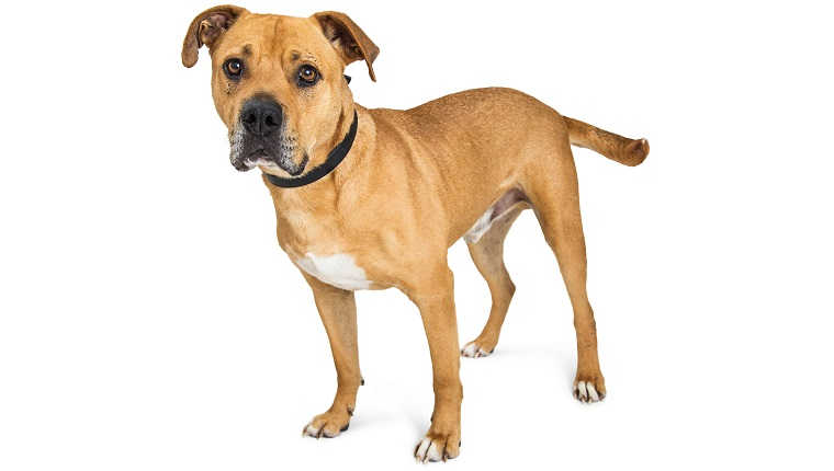 Bullboxer Pit dogs