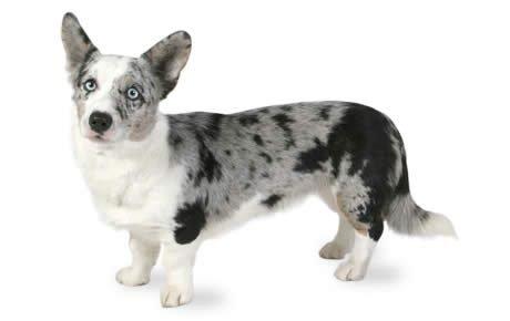 Cardigan Welsh Corgi dogs
