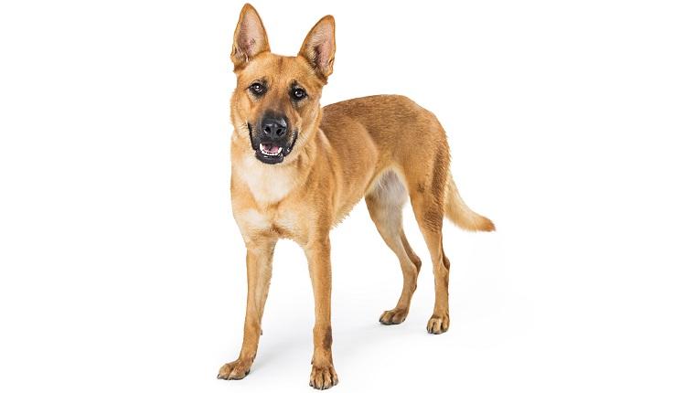 Carolina Dogs