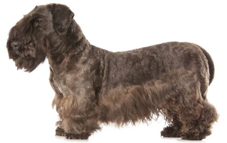 Cesky Terrier dog names