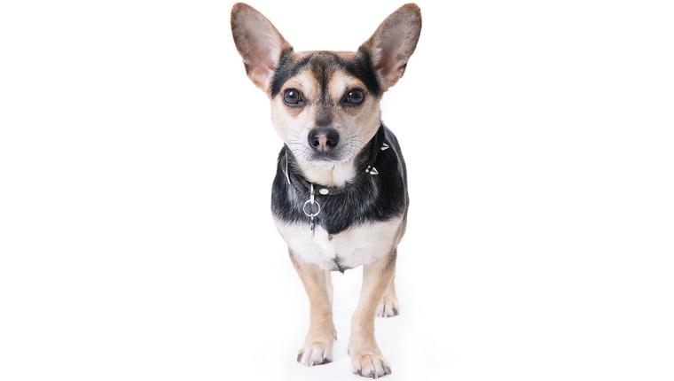 Chigi Dogs