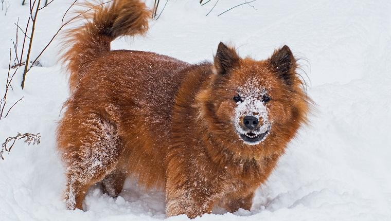 Chusky Dogs
