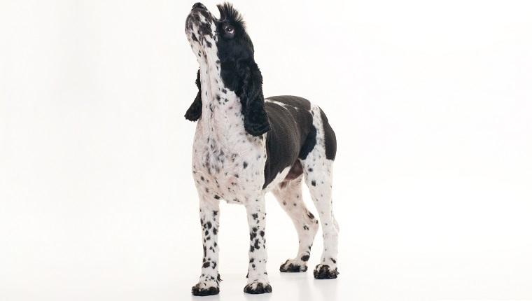 Cockalier Dogs