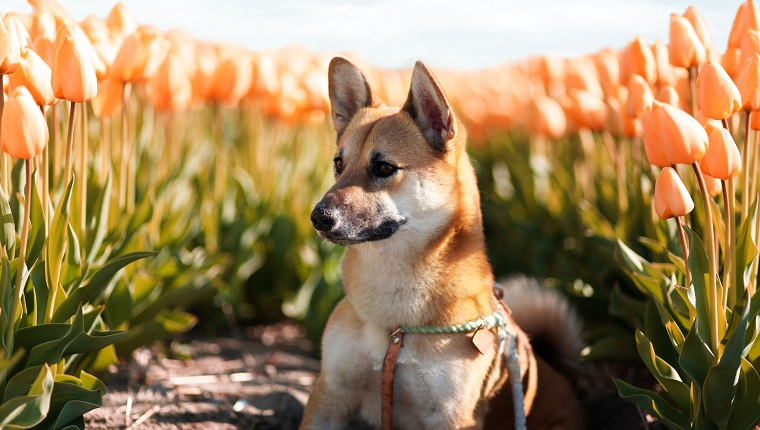 Corgi Inu Dogs