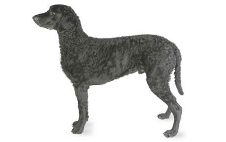 Curly-Coated Retriever Dogs