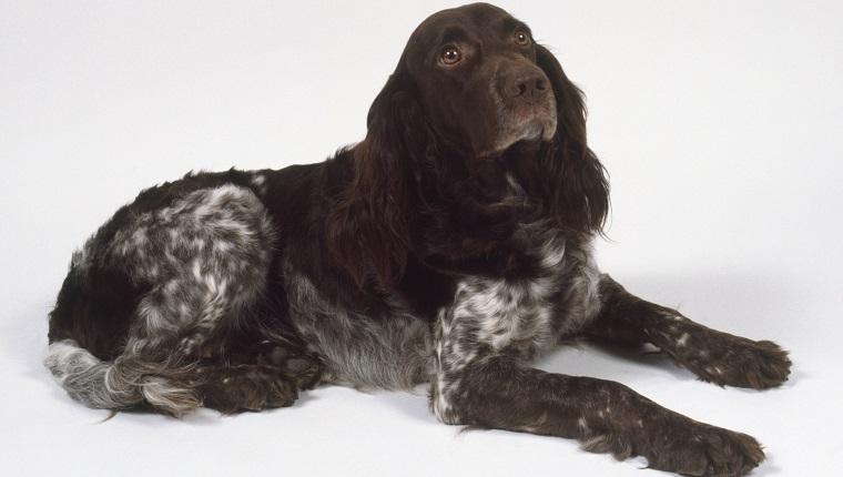 Deutscher Wachtelhund Dogs