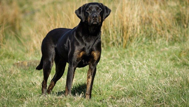 Doberdor Dogs