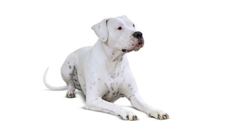 Dogo Argentino Dogs