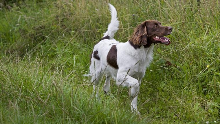 Drentsche Patrijshond Dogs