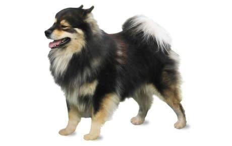 Finnish Lapphund Dogs