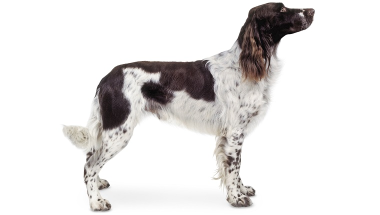 French Spaniel Dogs