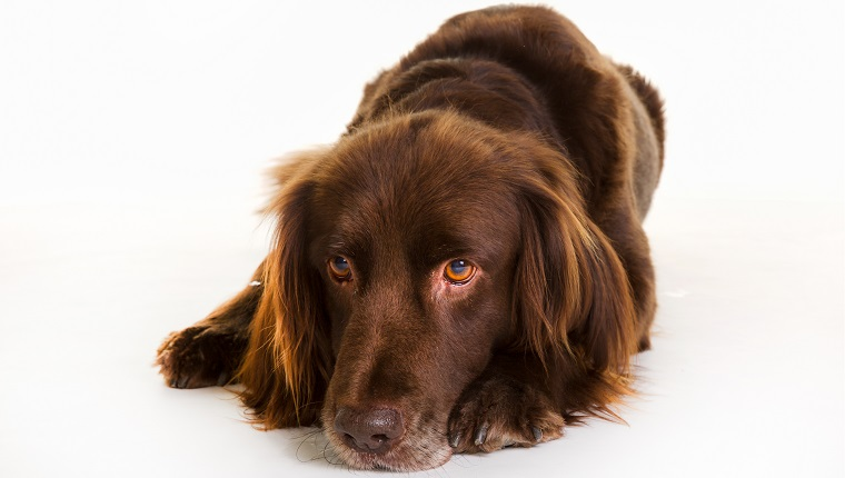 German Longhaired Pointer Dogs