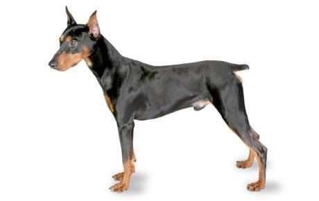 German Pinscher Dogs