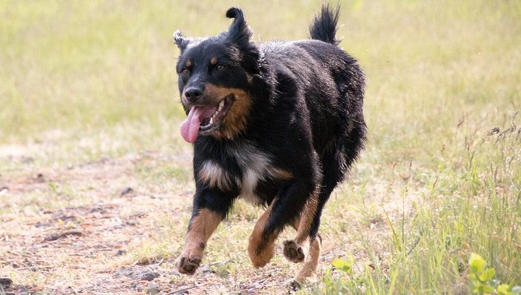 German Shepherd Rottweiler Mix Dogs