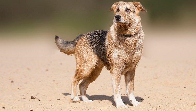 German Sheprador Dogs