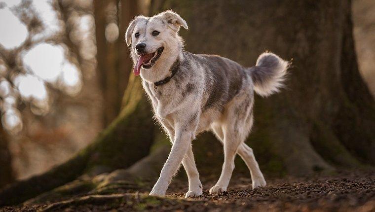 Goberian Dogs