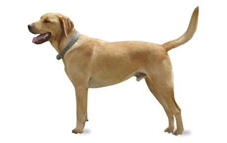 Goldador Dogs