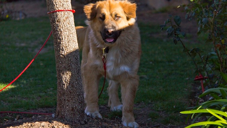 Golden Shepherd Dogs