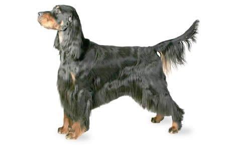 Gordon Setter Dogs