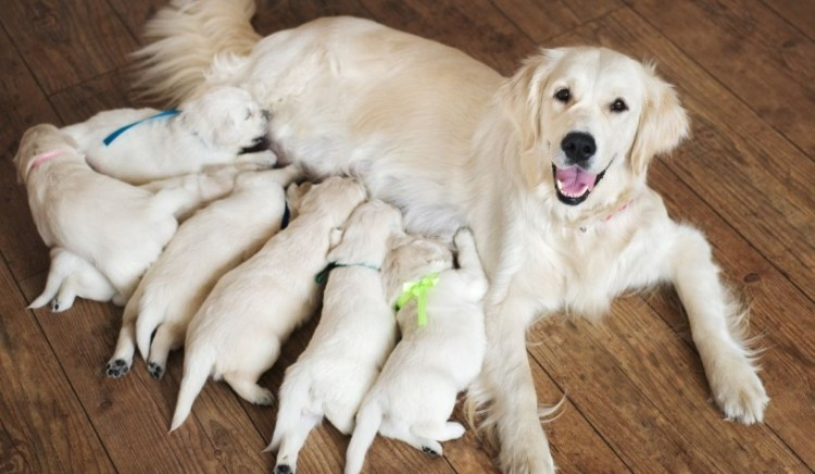 How Long are Dogs Pregnant ?
