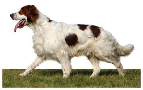 Irish Red And White Setter Dogs