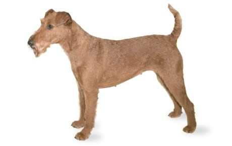Irish Terrier Dogs