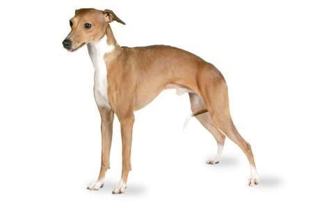 Italian Greyhound Dogs