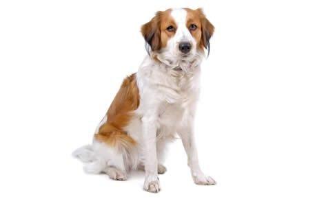 Kooikerhondje Dogs