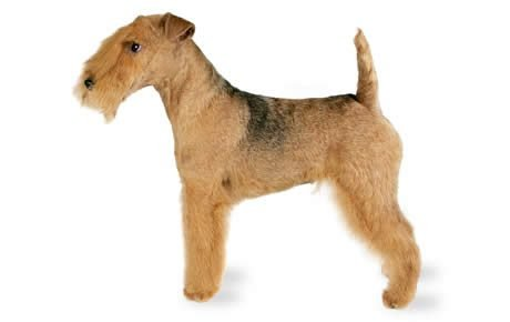 Lakeland Terrier Dogs