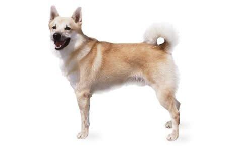Norwegian Buhund Dogs