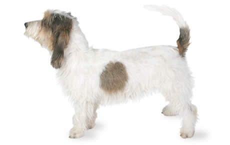Petit Basset Griffon Vendéen Dogs