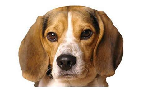 Pocket Beagle Dogs