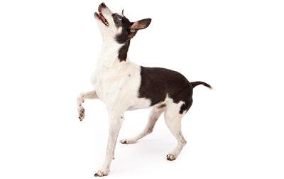 Rat Terrier Dogs