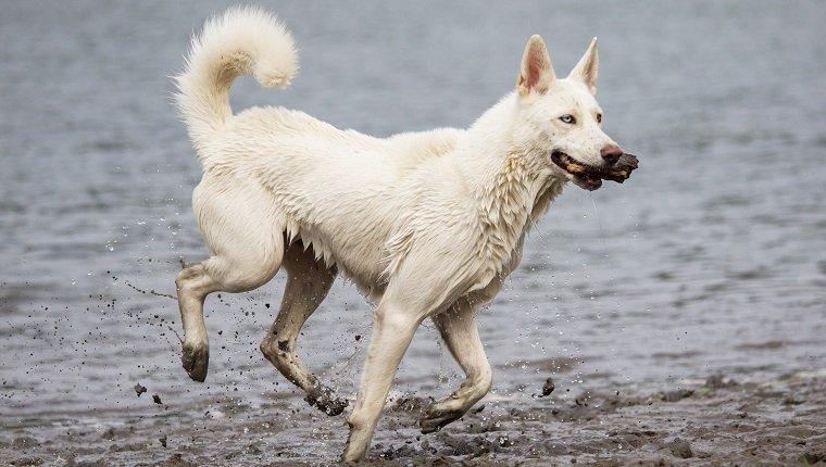Samusky Dogs