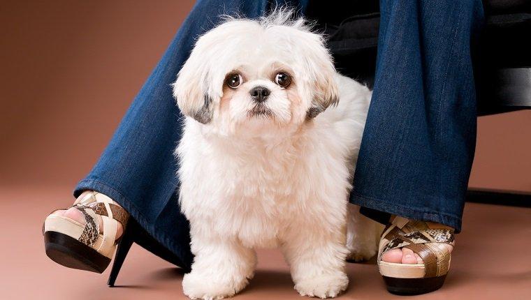 Shih-Poo Dogs