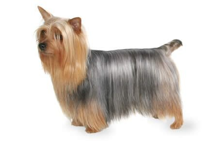 Silky Terrier Dogs