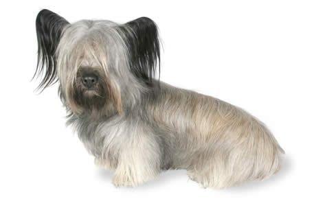 Skye Terrier Dogs