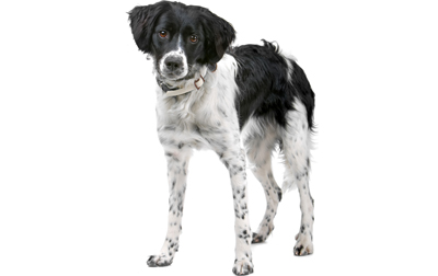 Stabyhoun Dogs