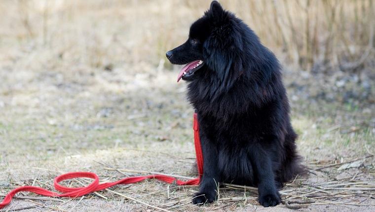 Swedish Lapphund Dogs