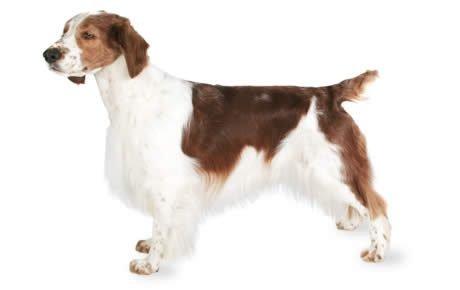 Welsh Springer Spaniel Dogs