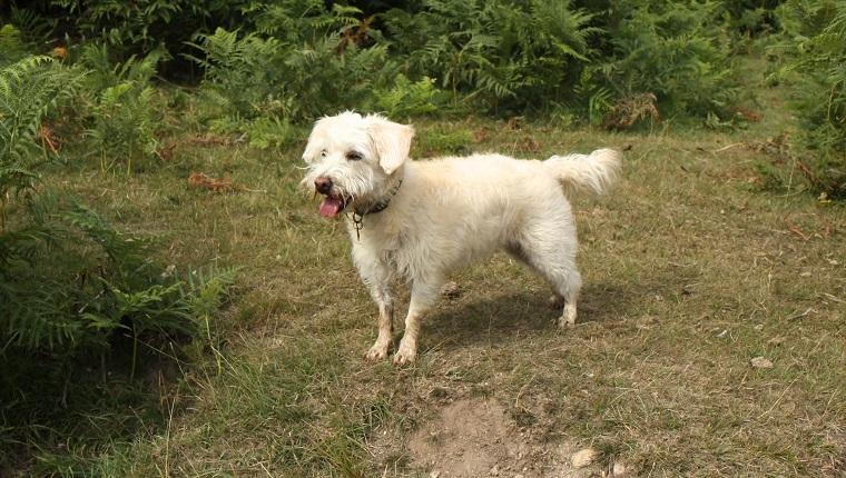 Westiepoo Dogs