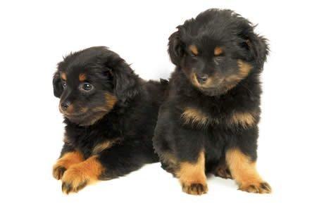 Yorkipoo Dogs