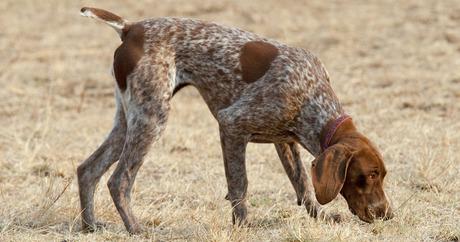 10 Best Scent Hound Breeds