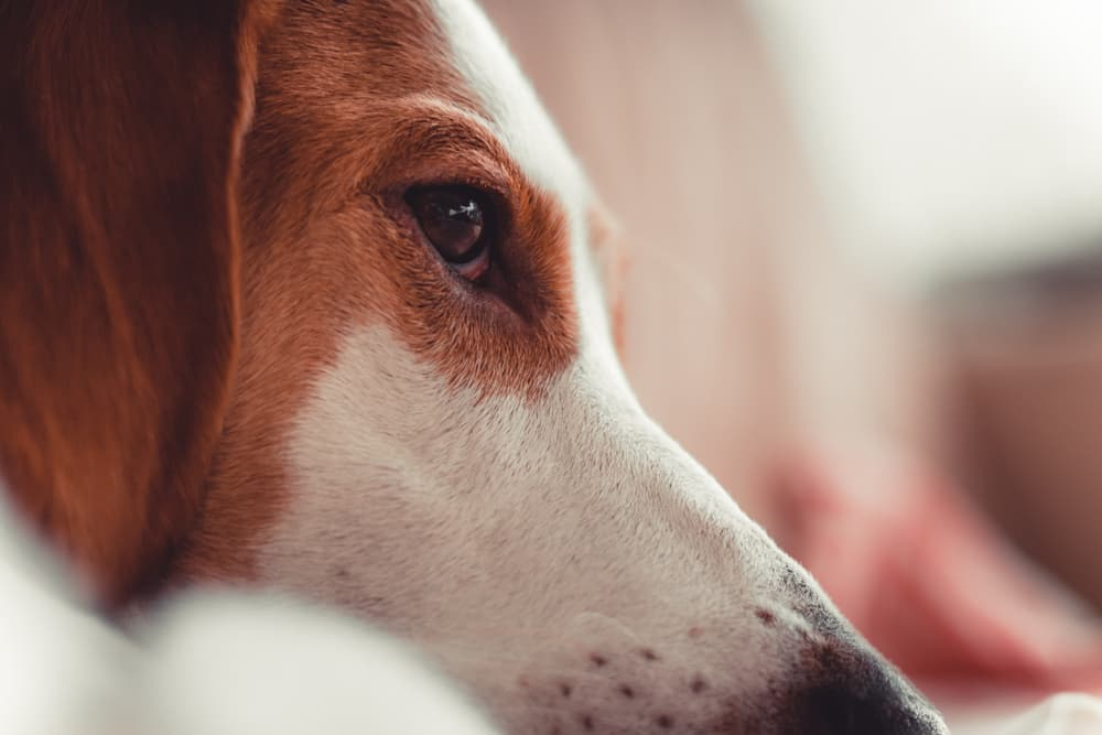 Can Dogs Cry ?
